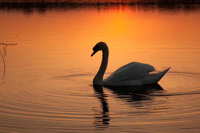 this swan